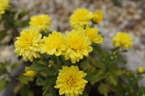 Cheery yellow mums