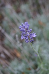 Autumn Lavender Bloom