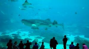 whale sharkA
